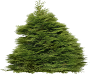 fir tree png transparent 3688