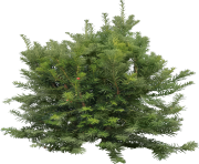 fir tree png transparent 3690
