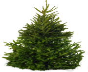 fir tree png transparent 2512