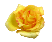 Yellow Rose Flowers Png Pic