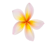 Plumeria Flowers Png Clipart