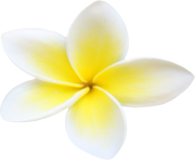 Plumeria Flowers Png File