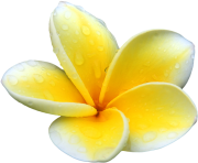 Plumeria Flowers Png Picture