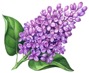 Lilac Flowers Png Pic