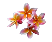 Plumeria Flowers Png Free Download