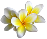 Plumeria Flowers Png Transparent Image