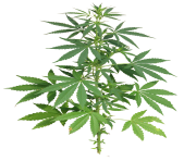 cannabis pot leaf png