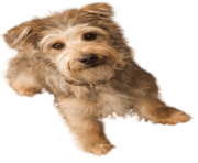 42 small puppy png image picture download dogs