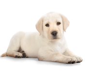 Golden Retriever Puppy PNG Photos