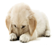 Golden Retriever Puppy PNG Clipart