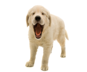 Golden Retriever Puppy PNG Transparent Image