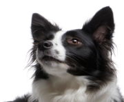 Border Collie Transparent PNG