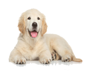 Golden Retriever Puppy PNG File
