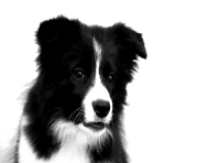 Border Collie PNG Photos