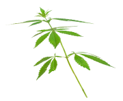 Cannabis leaves weed png