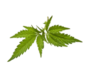 weed png clipart