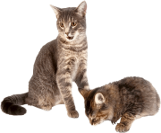 27 kitten png image download picture