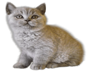 39 kitten png image download picture