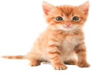 19 cat png image download picture kitten