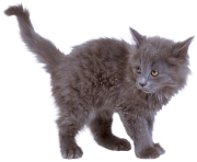 16 kitten png image download picture