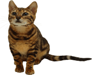 25 kitten png image download picture