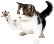 35 kitten png image download picture