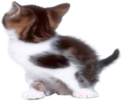 37 cat png image download picture kitten