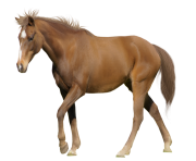 Horse Png Equidae Family 7