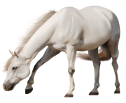 white horse png 6