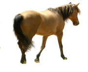 Horse Png Equidae Family 4