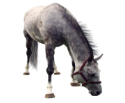 white horse png 2