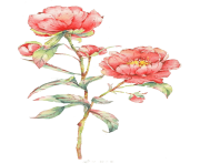 Pink rose flower illustration Watercolor Flowers Watercolor painting Centifolia roses